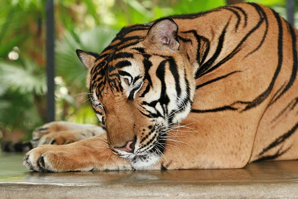 Silent vacuums don't wake tigers